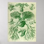 Ernst Haeckel - Filicinae Poster