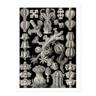 Ernst Haeckel Gorgonia Postal