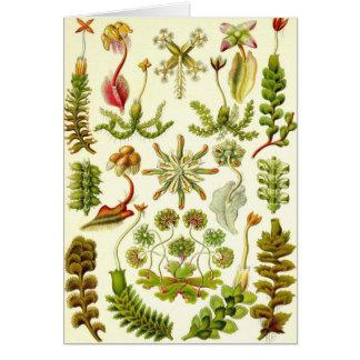 Ernst Haeckel - Hepaticae Card