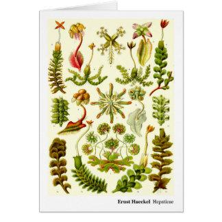 Ernst Haeckel Hepaticae Card