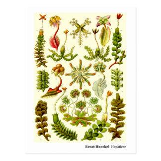 Ernst Haeckel Hepaticae Postcard