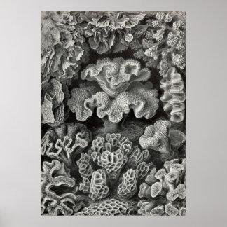 Ernst Haeckel - Hexacoralla2 Coral Poster