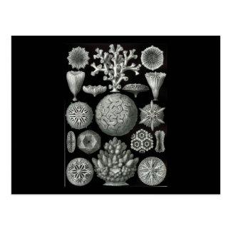 Ernst Haeckel Hexacoralla Postcard