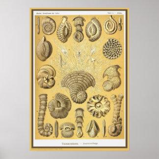 Ernst Haeckel - Kuntsformen der Nature - Tafel 12 Posters