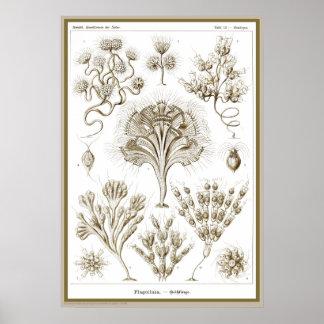Ernst Haeckel - Kuntsformen der Nature - Tafel 13 Posters