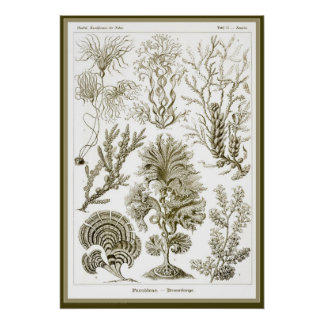 Ernst Haeckel - Kuntsformen der Nature - Tafel 15 Posters
