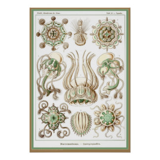 Ernst Haeckel - Kuntsformen der Nature - Tafel 16 Posters