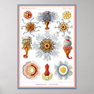 Ernst Haeckel - Kuntsformen der Nature - Tafel 17 Posters