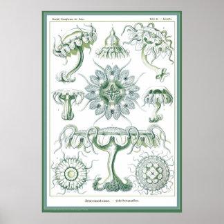 Ernst Haeckel - Kuntsformen der Nature - Tafel 18 Posters