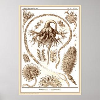 Ernst Haeckel - Kuntsformen der Nature - Tafel 19 Posters