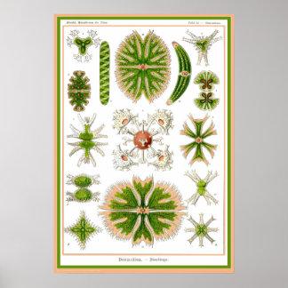 Ernst Haeckel - Kuntsformen der Nature - Tafel 24 Print