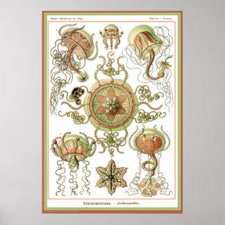 Ernst Haeckel - Kuntsformen der Nature - Tafel 26 Poster