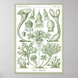Ernst Haeckel - Kuntsformen der Nature - Tafel 3 Poster