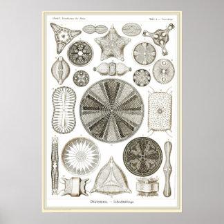 Ernst Haeckel - Kuntsformen der Nature - Tafel 4 Poster