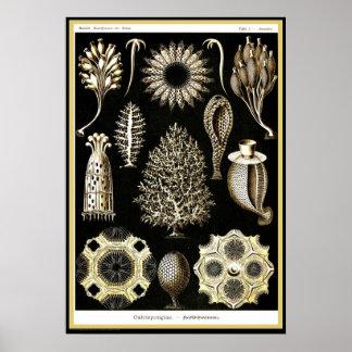 Ernst Haeckel - Kuntsformen der Nature - Tafel 5 Poster