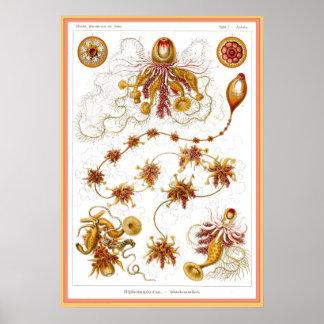 Ernst Haeckel - Kuntsformen der Nature - Tafel 7 Print