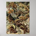 Ernst Haeckel - lagartos de Lacertilia Poster