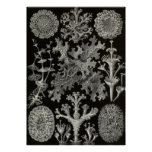 Ernst Haeckel - Lichenes Poster