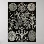Ernst Haeckel - Lichenes Print