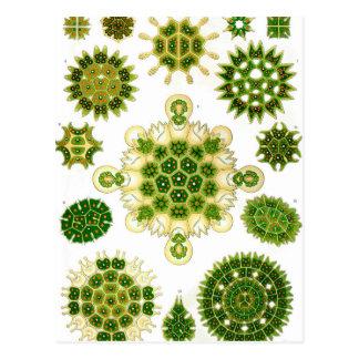 Ernst Haeckel Melethallia Postcard