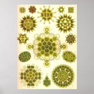 Ernst Haeckel - Melethallia Poster