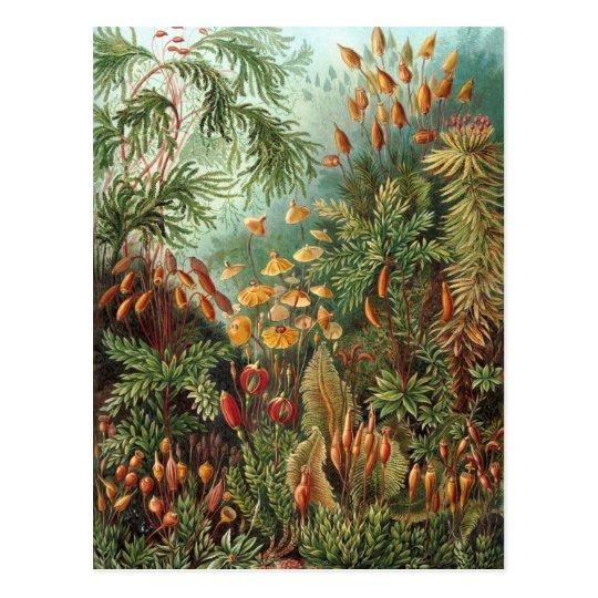Ernst Haeckel - Muscinae Postcard