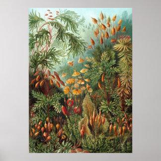 Ernst Haeckel - Muscinae Póster