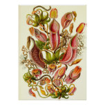 Ernst Haeckel - Nepenthaceae Poster