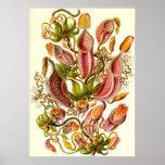Ernst Haeckel - Nepenthaceae Print