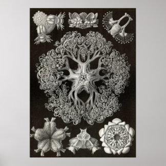 Ernst Haeckel - Ophiodea2 Poster