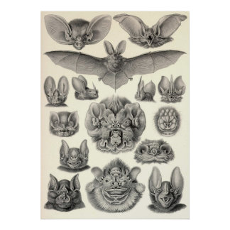 Ernst Haeckel - palos del Chiroptera Posters