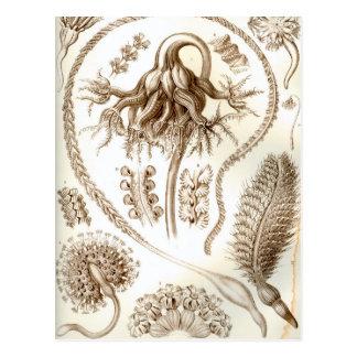 Ernst Haeckel Pennatulida Coral Postcard