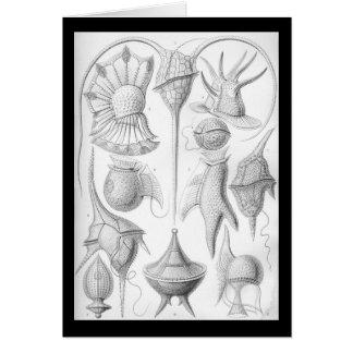 Ernst Haeckel Peridinea Card