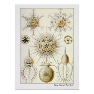 Ernst Haeckel Phaeodaria Póster