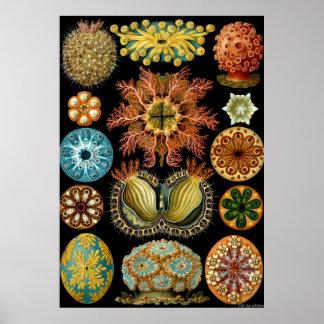 Ernst Haeckel Poster ~ Actiniae