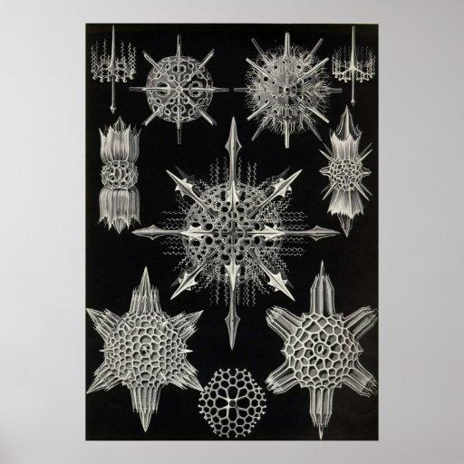 Ernst Haeckel - poster de Acanthophracta