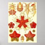Ernst Haeckel - poster de Asteridea