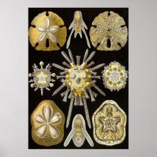 Ernst Haeckel - poster de Echinidea