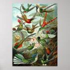 Ernst Haeckel Poster ~ Hummingbirds