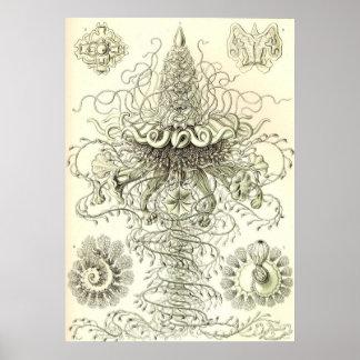Ernst Haeckel - poster Siphonophorae3