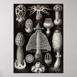 Ernst Haeckel - setas de Basimycetes Póster