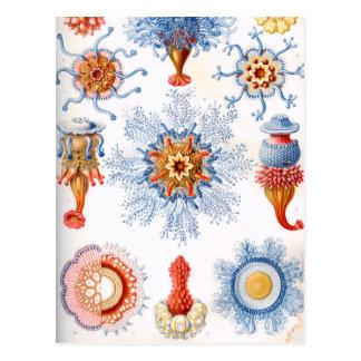 Ernst Haeckel Siphonophorae jellyfish bluebottle! Postcard