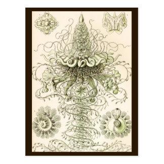 Ernst Haeckel Siphonophorae Postcard