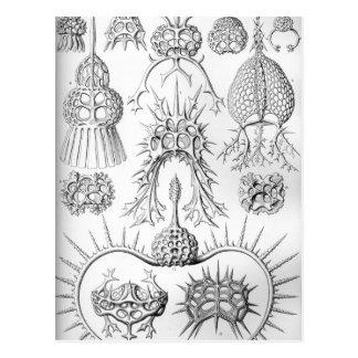 Ernst Haeckel  Spyroidea Sea Creatures Postcard