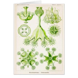 Ernst Haeckel Stauromedusae Stalked Jellyfishes Card