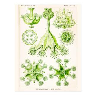 Ernst Haeckel Stauromedusae Stalked Jellyfishes Postcard