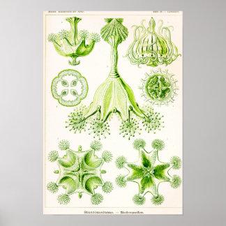 Ernst Haeckel Stauromedusae Stalked Jellyfishes Poster