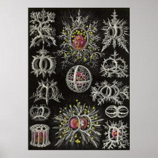 Ernst Haeckel - Stephoidea Poster