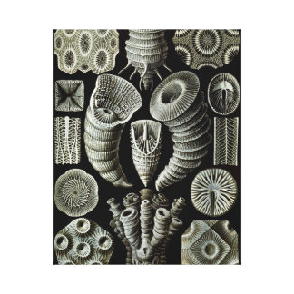Ernst Haeckel Tetracorallia coral Canvas Print