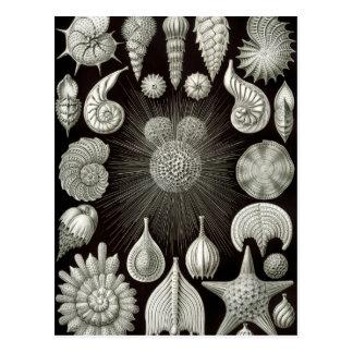 Ernst Haeckel Thalamphora Postcard